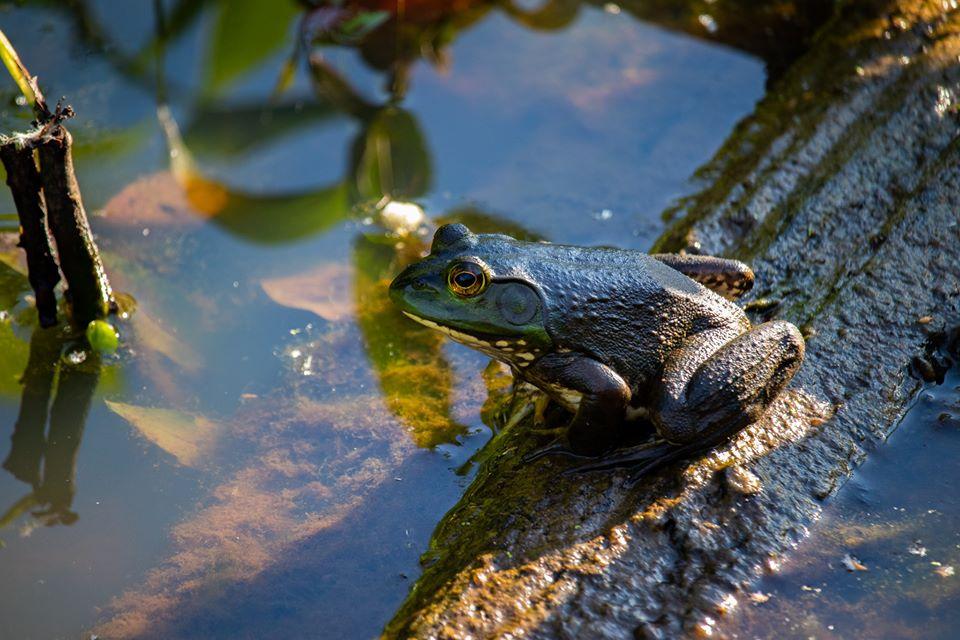 Frog on a log.