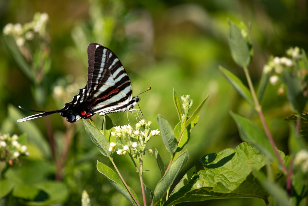 Swallowtail butterfly (looks like a zebra) on flower.