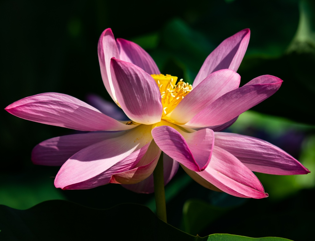 Pink lotus flower closeup.