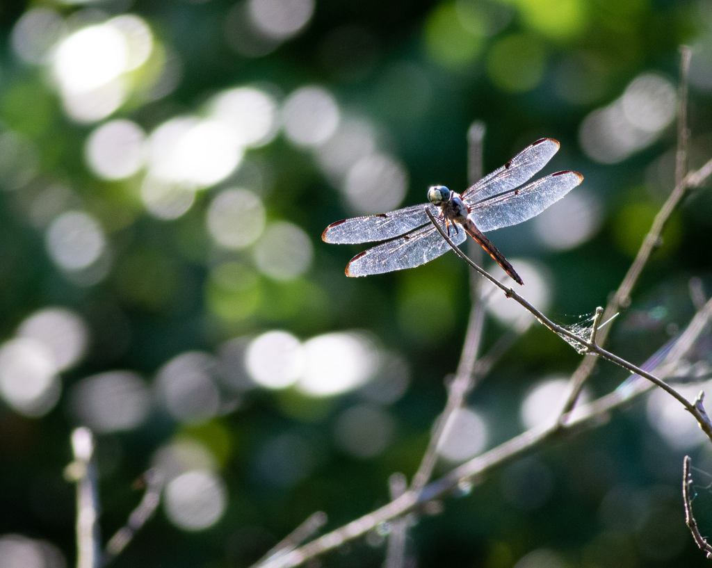 Dragonfly on stick with sparkling background.
