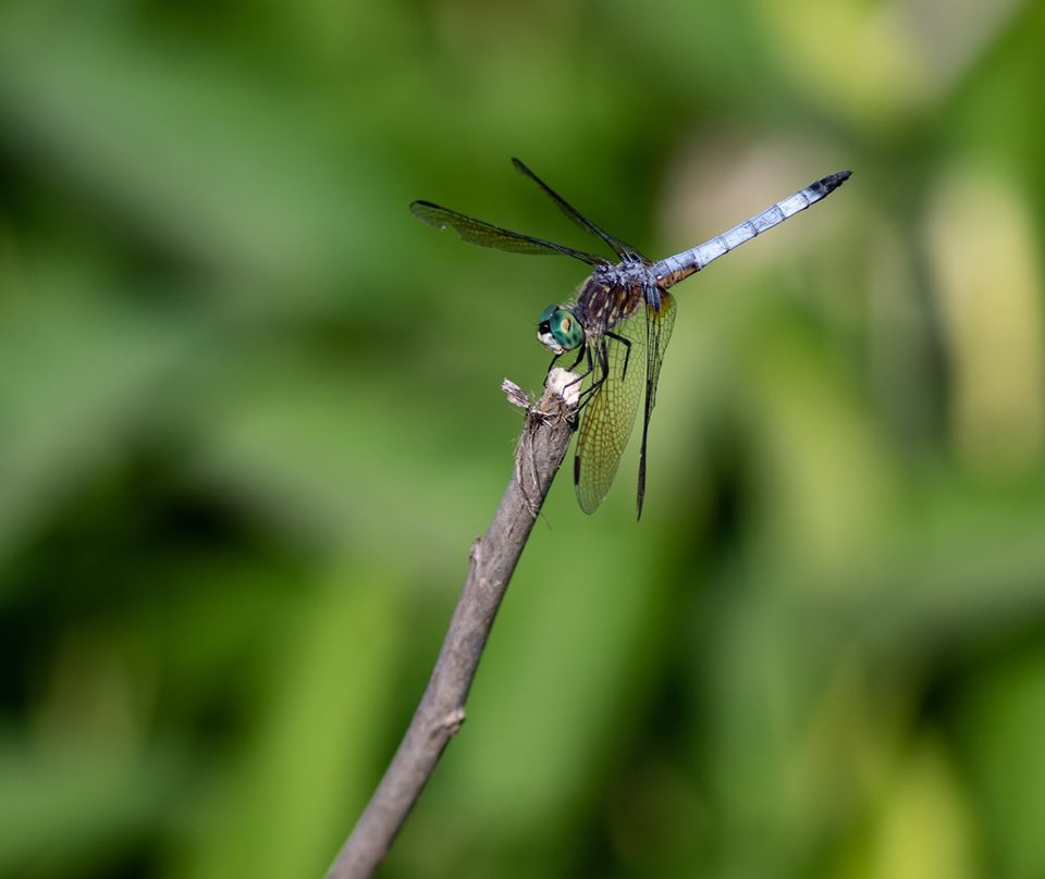 Close-up of dragonfly on tip of branch.