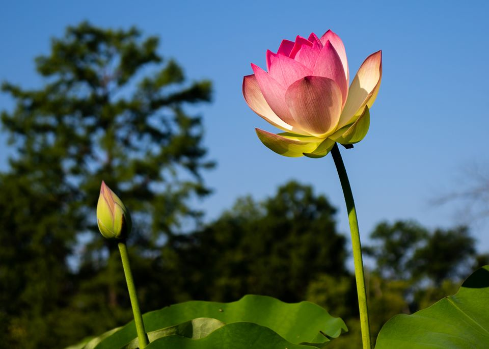 Pink lotus flower next to bud.