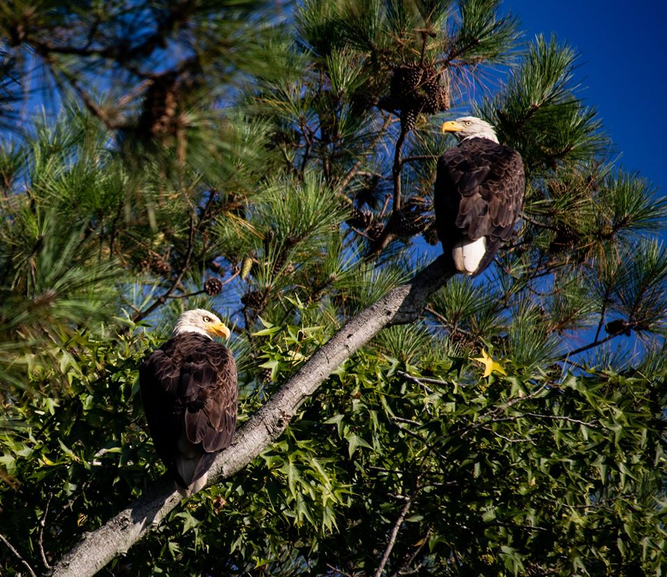Two Bald Eagles sitting on a tree branch.
