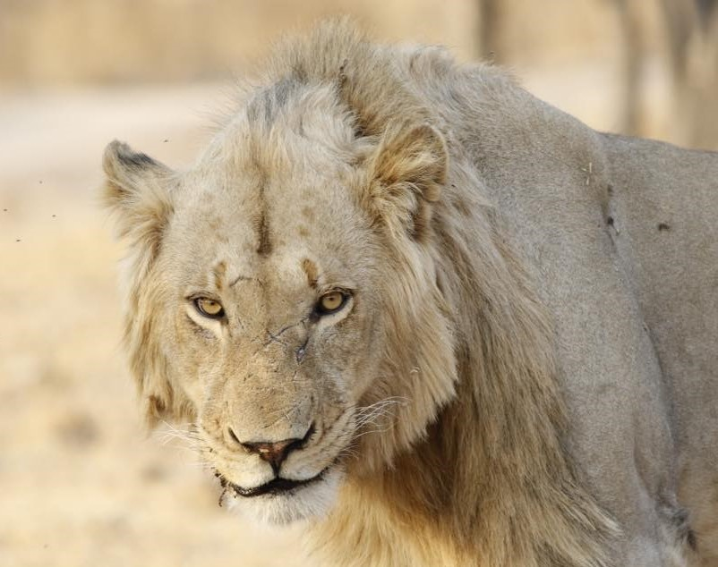 Lion looking right at camera.