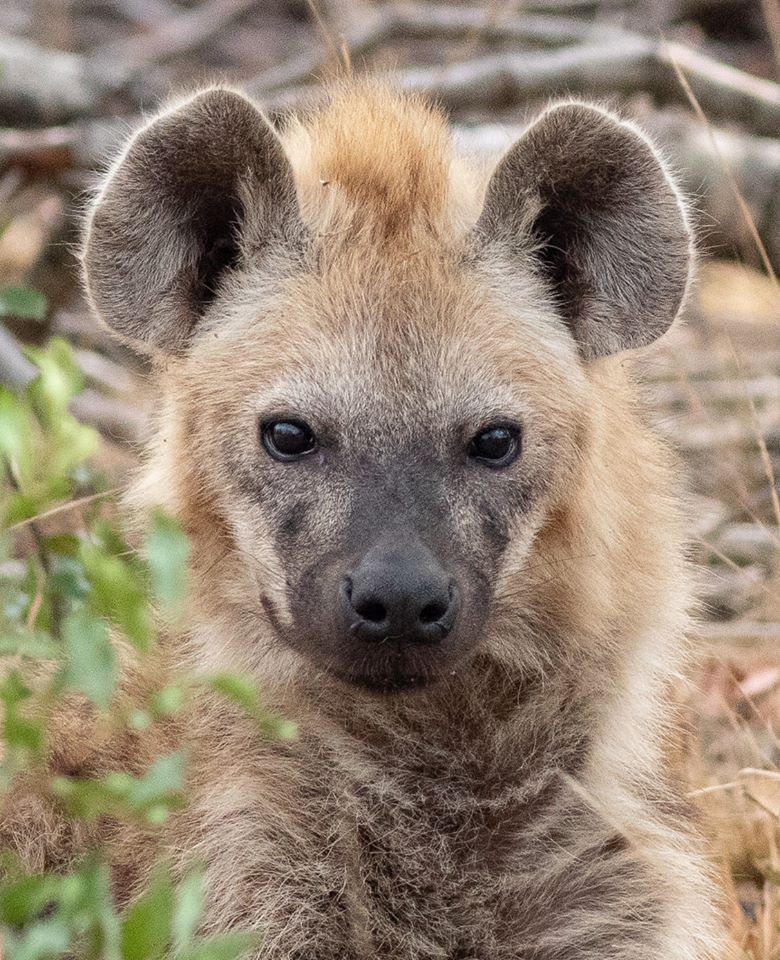 Close-up of hyena.