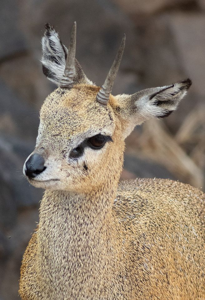 Close-up of Klipspringer.