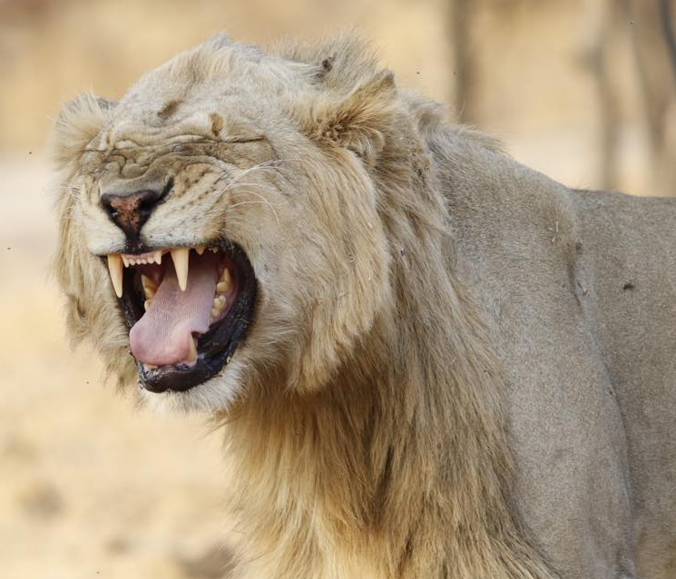 Lion barring teeth.