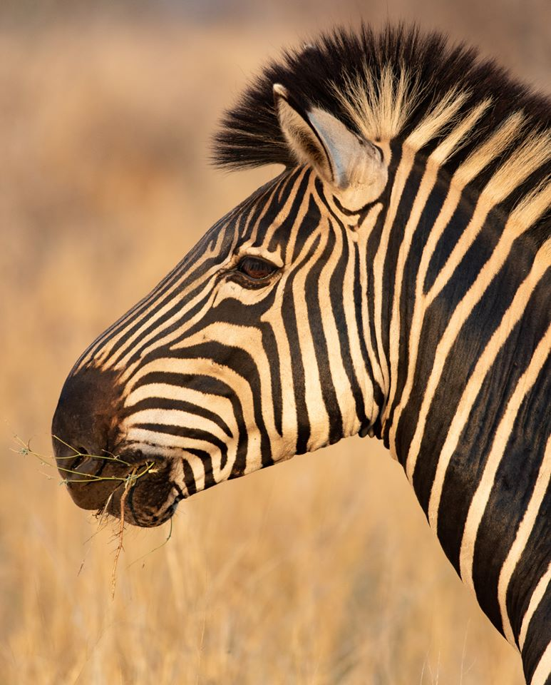 Close-up of zebra in profile.