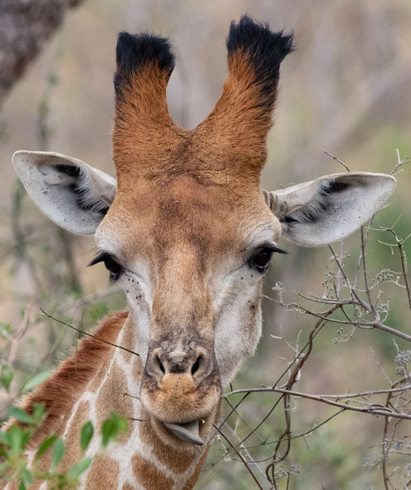 Close-up of giraffe.