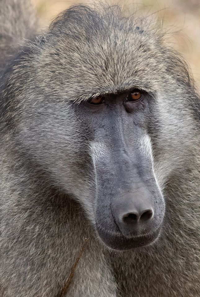 Close-up of baboon.