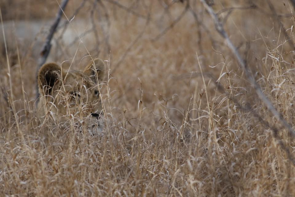 Baby lion in the tall grass.