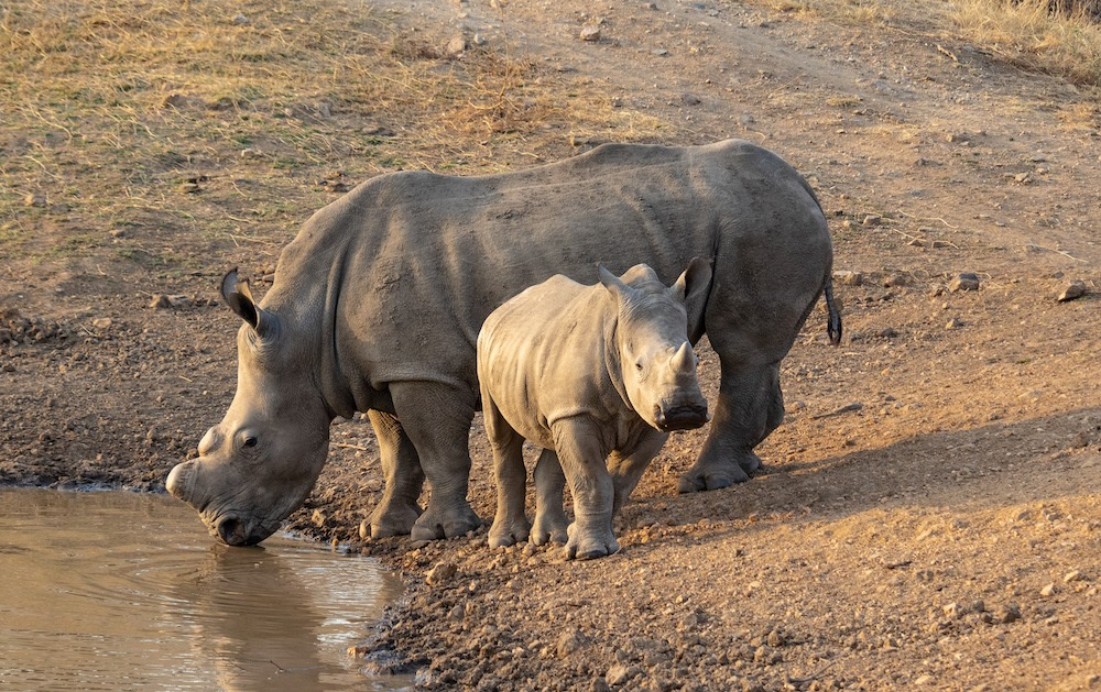 Mother rhino drinking water with baby rhino facing camera.