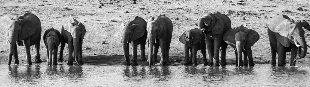 Elephants in black and white lined-up drinking water.
