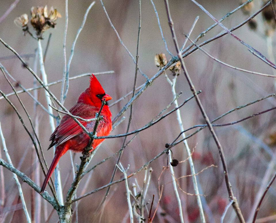 Red cardinal among branches.