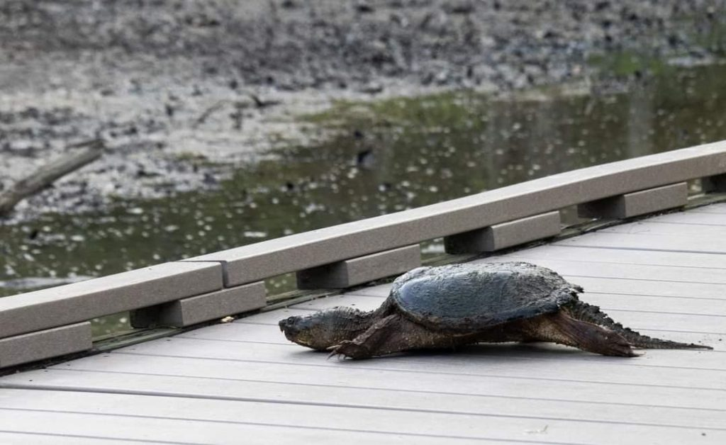 Snapping turtle crossing boarwalk
