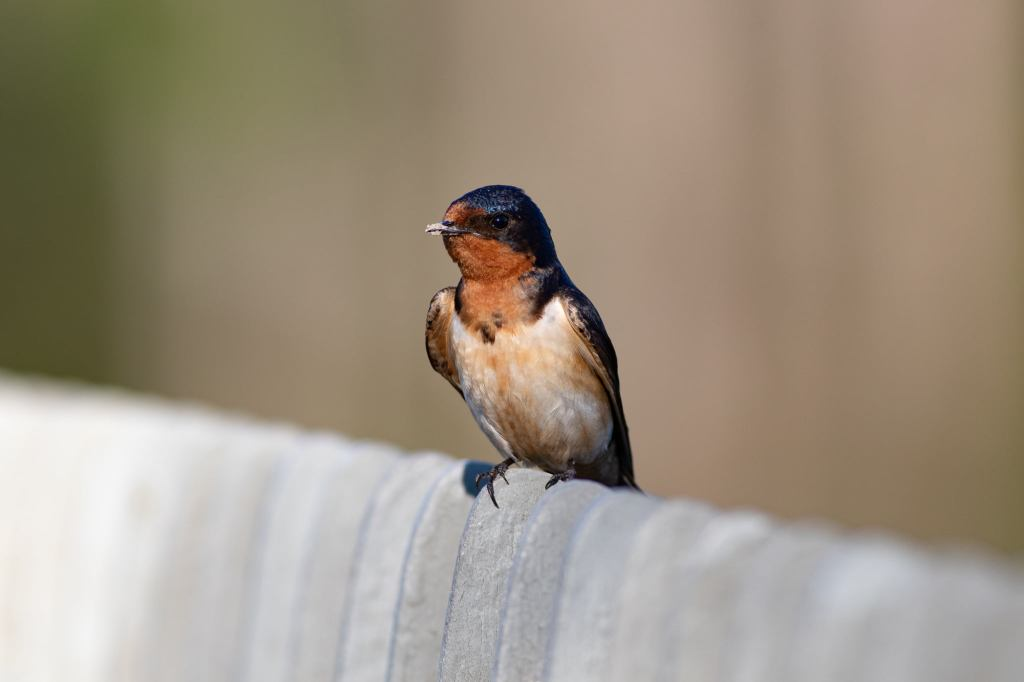 Little swallow sitting on railing.