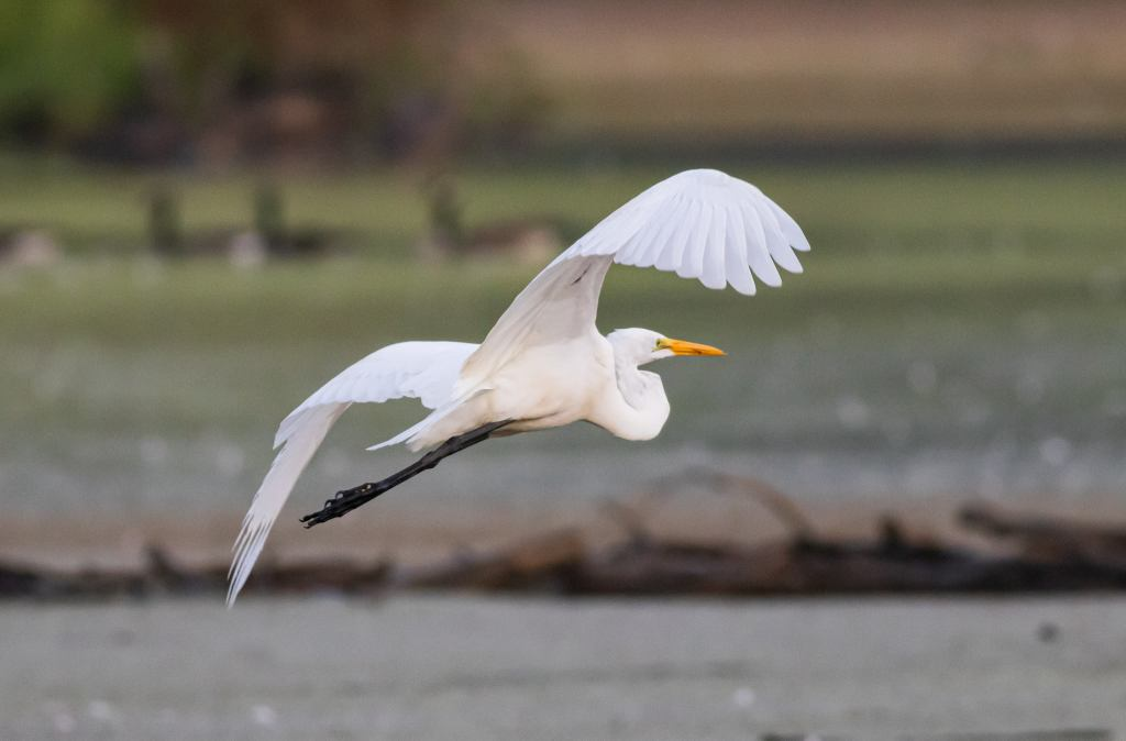 Great White Egret flying.