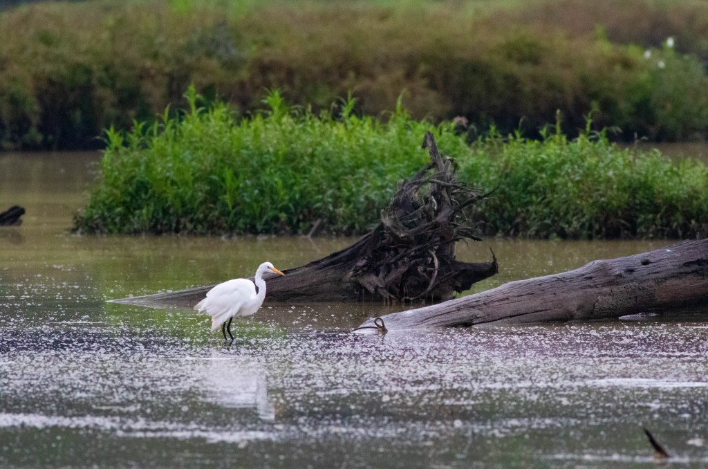 Great White Egret fishing for breakfast