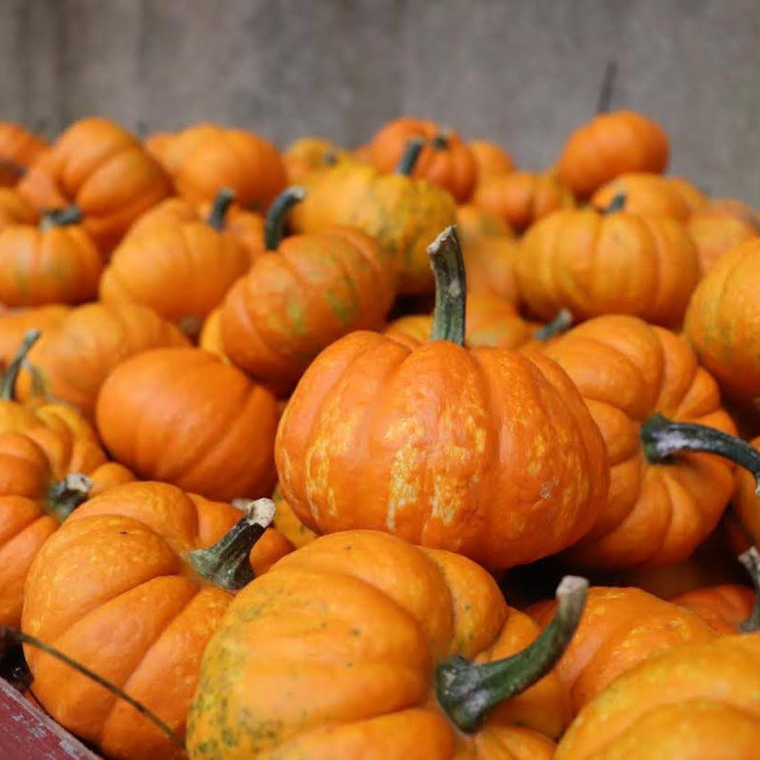 Several orange pumpkins in a stand.