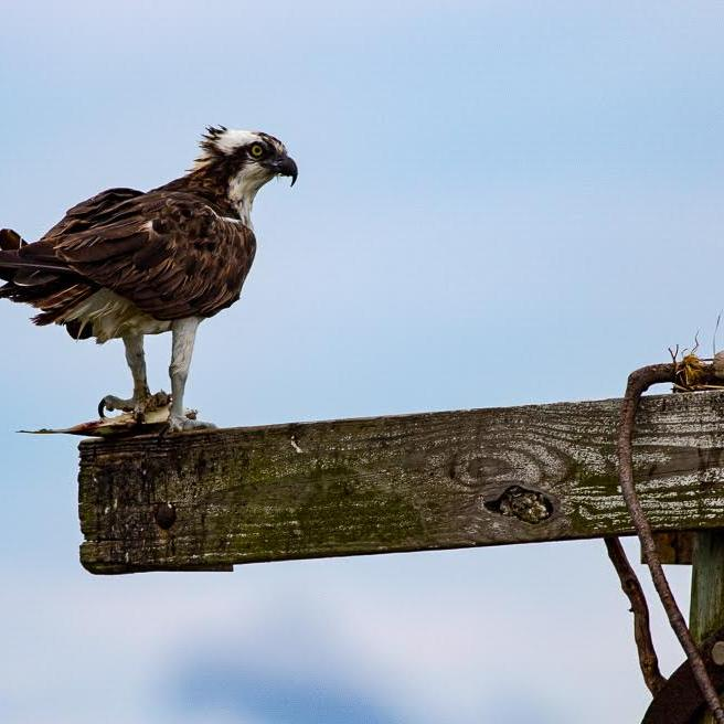 Osprey standing on a wood plank, foot on a fish.