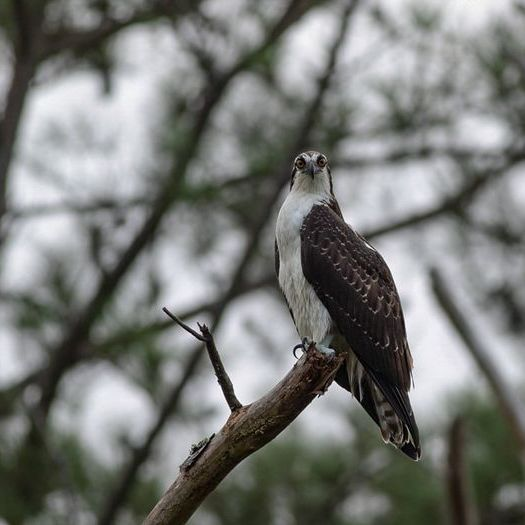 Osprey perched on a branch in the trees, head turned towards camera, eyes wide open.