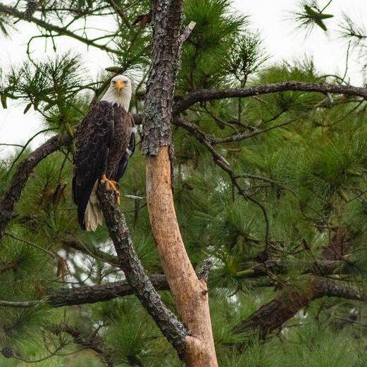 Bald Eagle perched on a branch in the trees.