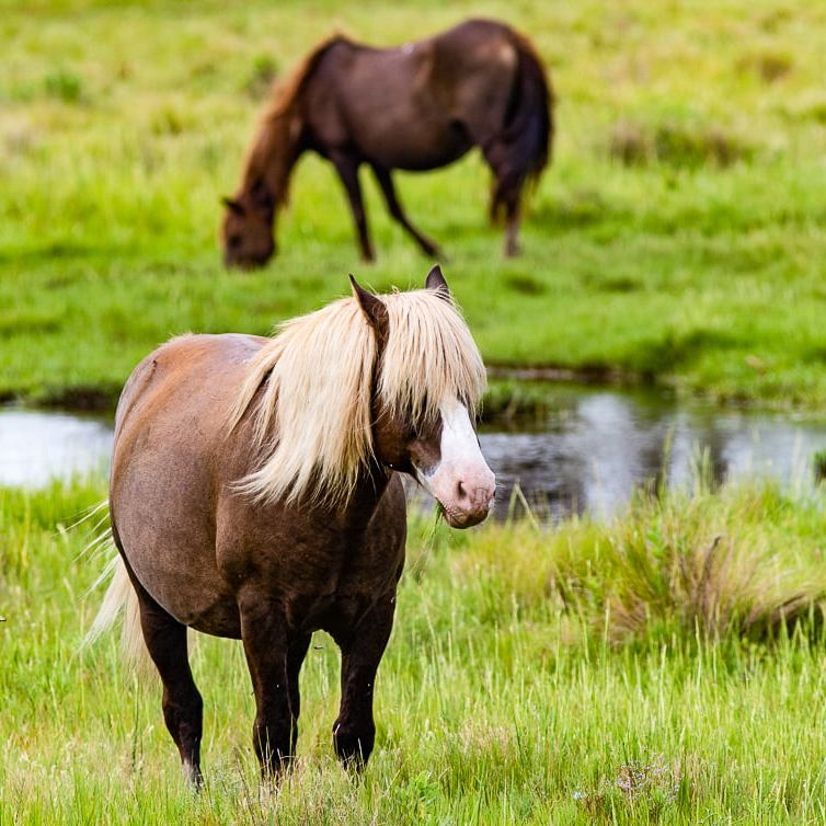 Brown pony in foreground with blurred pony in background eating grass.