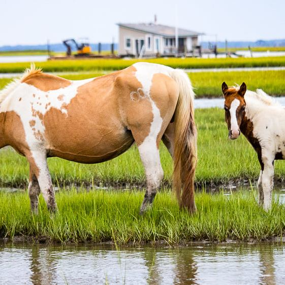 Cream and white mother pony with brown and white baby pony behind her. Both are standing in the marsh lands.
