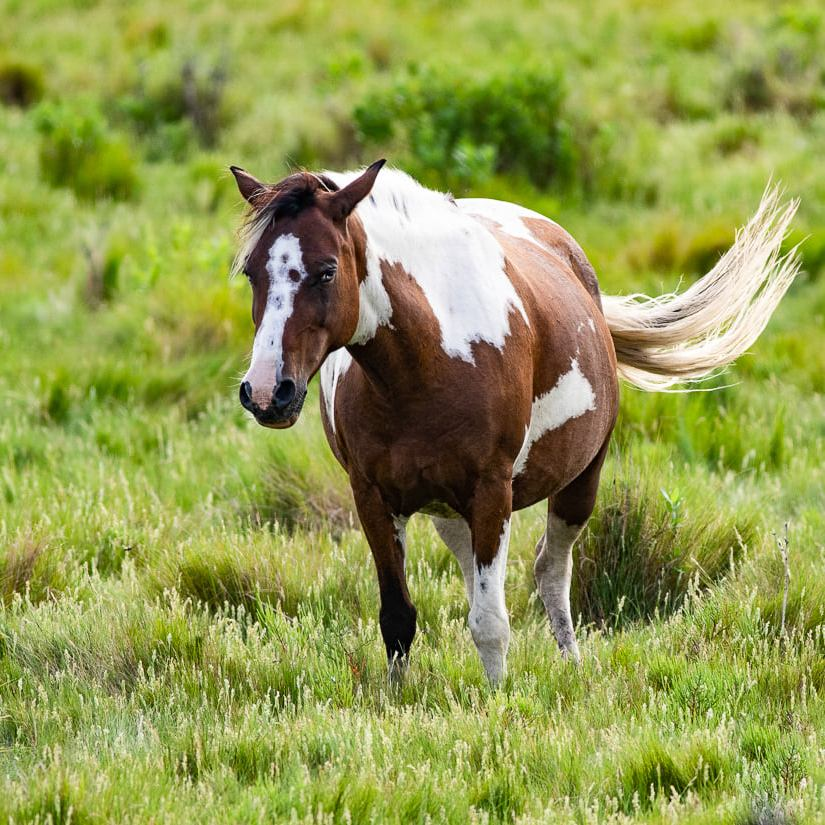 Brown and white pony in grass with cream color mane swinging.