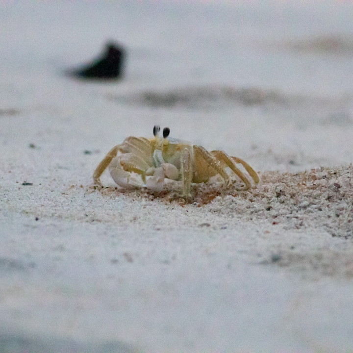 Small crab on a sandy beach.