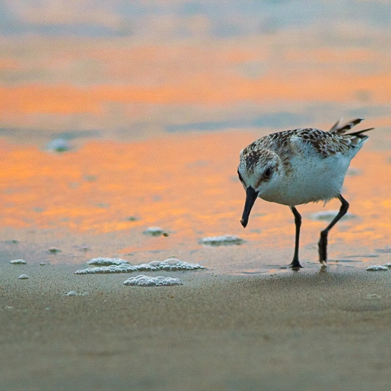 Sandpiper on the beach, orange in the background on the water from sunrise.