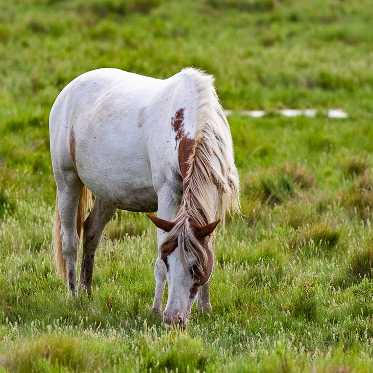 White pony with head down eating grass.
