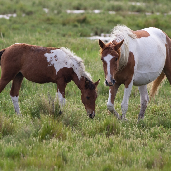 Mom pony with baby pony eating grass in a field.