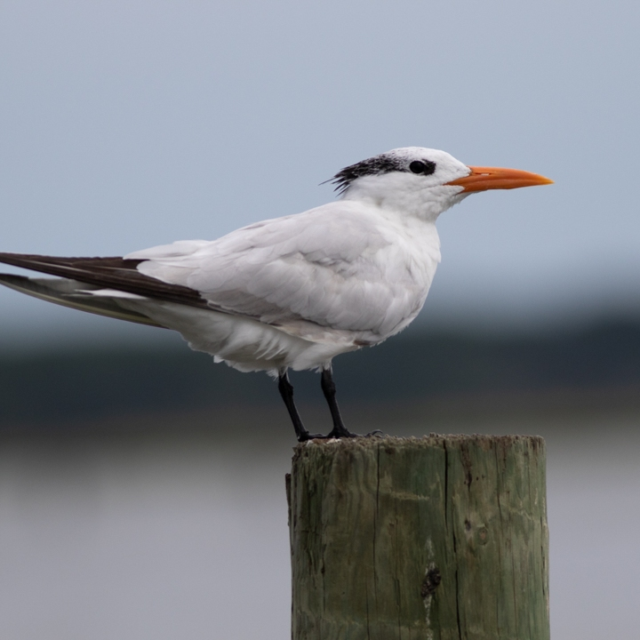 Imperial seagull standing on a pilum.