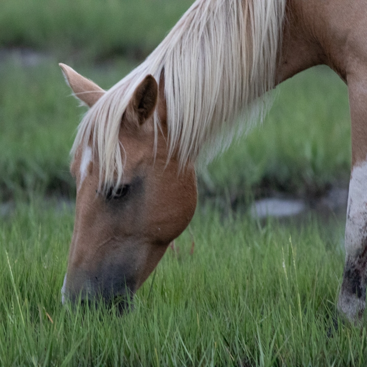 Close up of pony head eating grass.