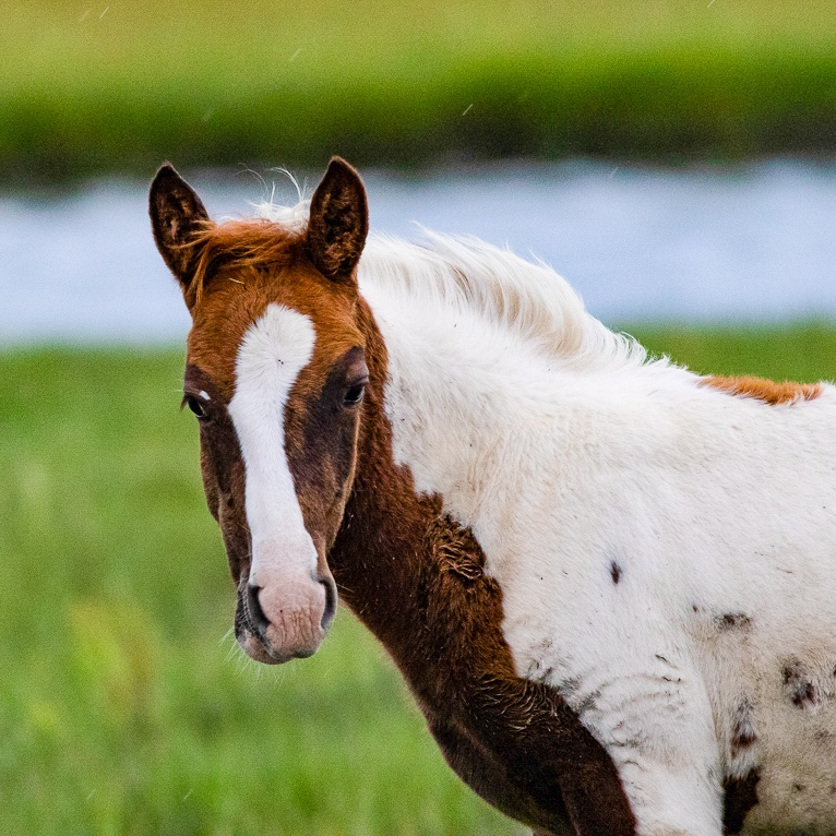 Close up headshot of Chincoteague pony.