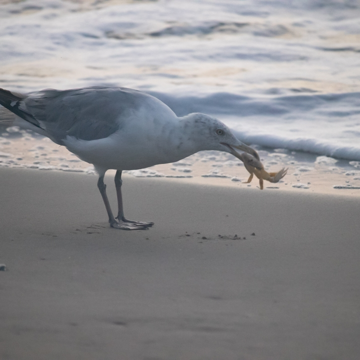 Seagull with a crab in his mouth on the beach by the water.