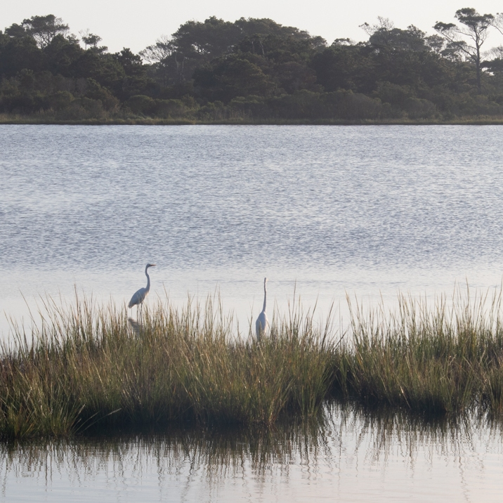 Four egrets in the marshy waters.