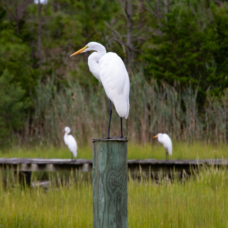 Egret standing on top of a dock post, with two egrets on a boardwalk behind him.