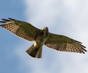 closeup of hawk flying overhead