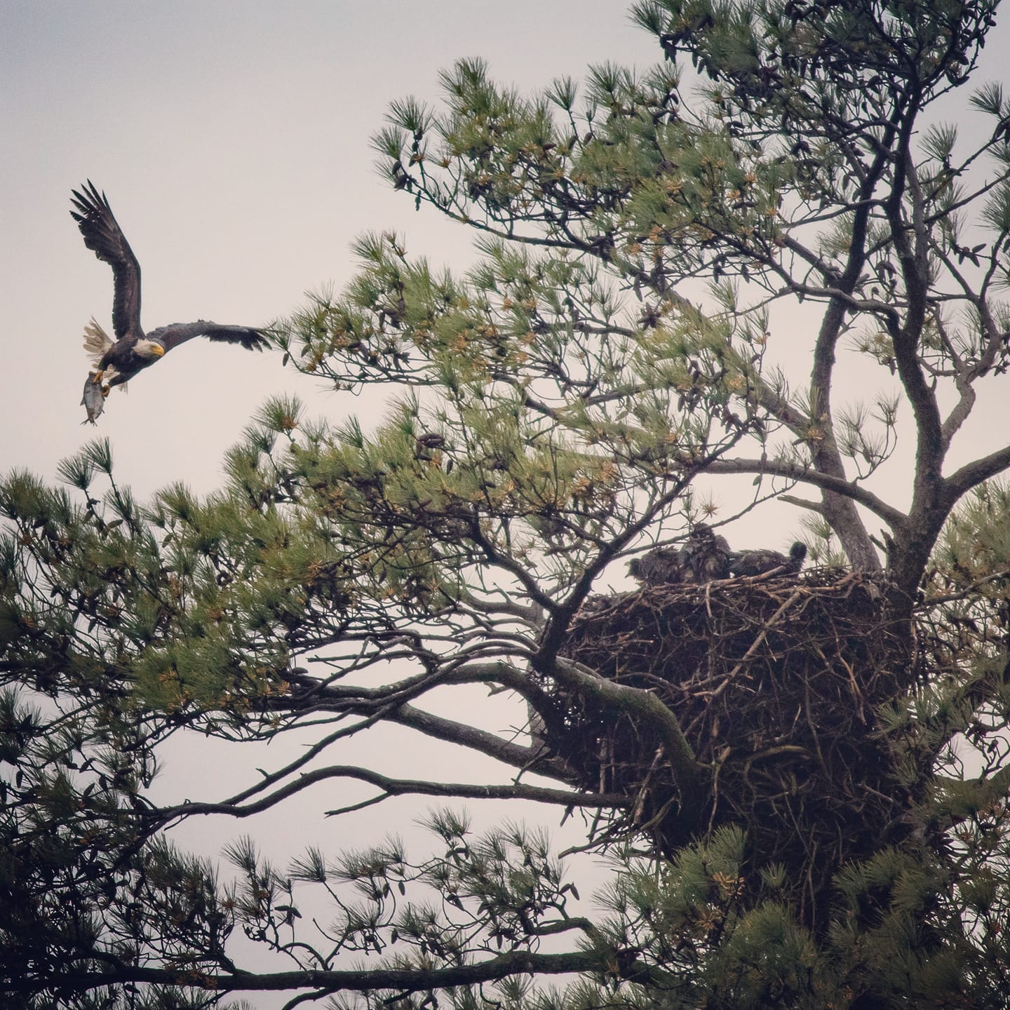Tree with an Eagles nest in branches. Nest has three Eaglets in it. In the corner, adult Bald Eagle swooping in with a fish in its talons.