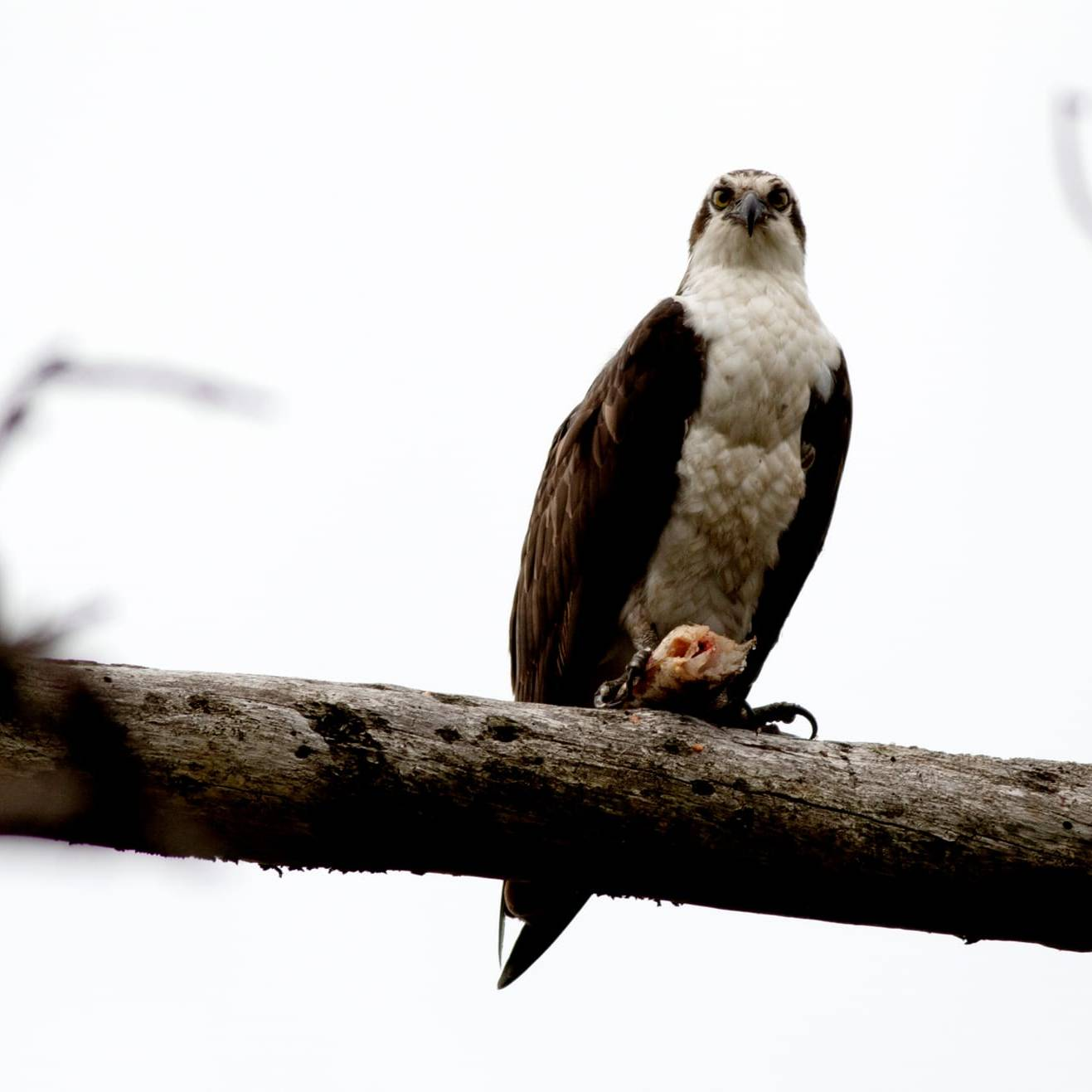 Osprey sitting on a branch with foot on a beaded fish. Osprey is looking straight ahead at the camera.