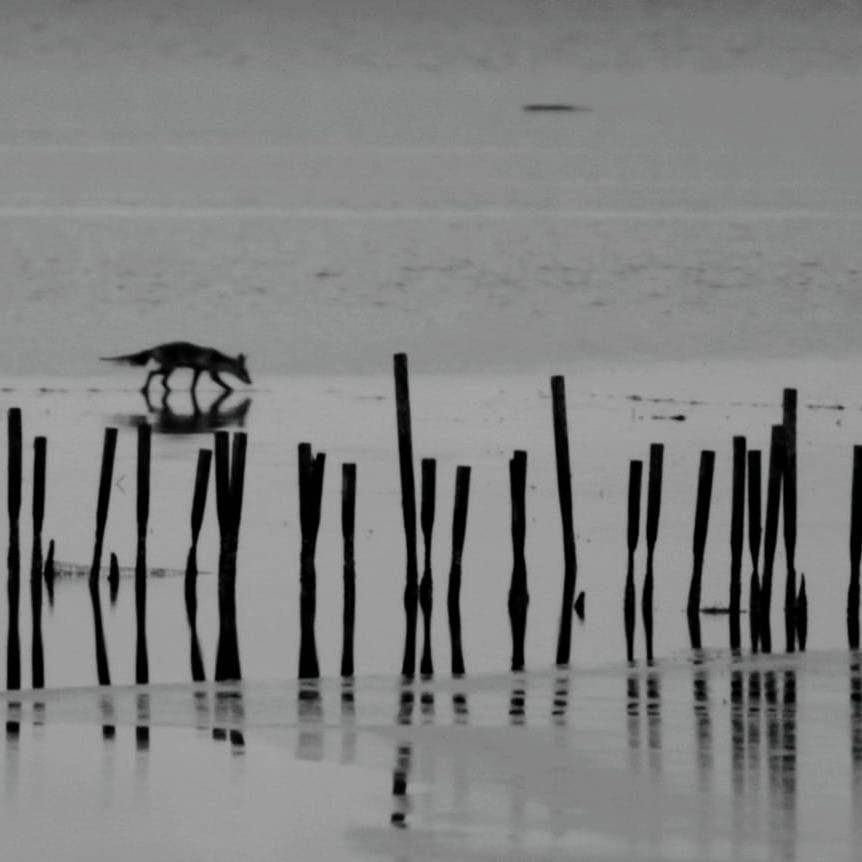 Black and white photo of marsh with like of stakes in the water going horizontally across. Fox walking across marsh behind stakes.