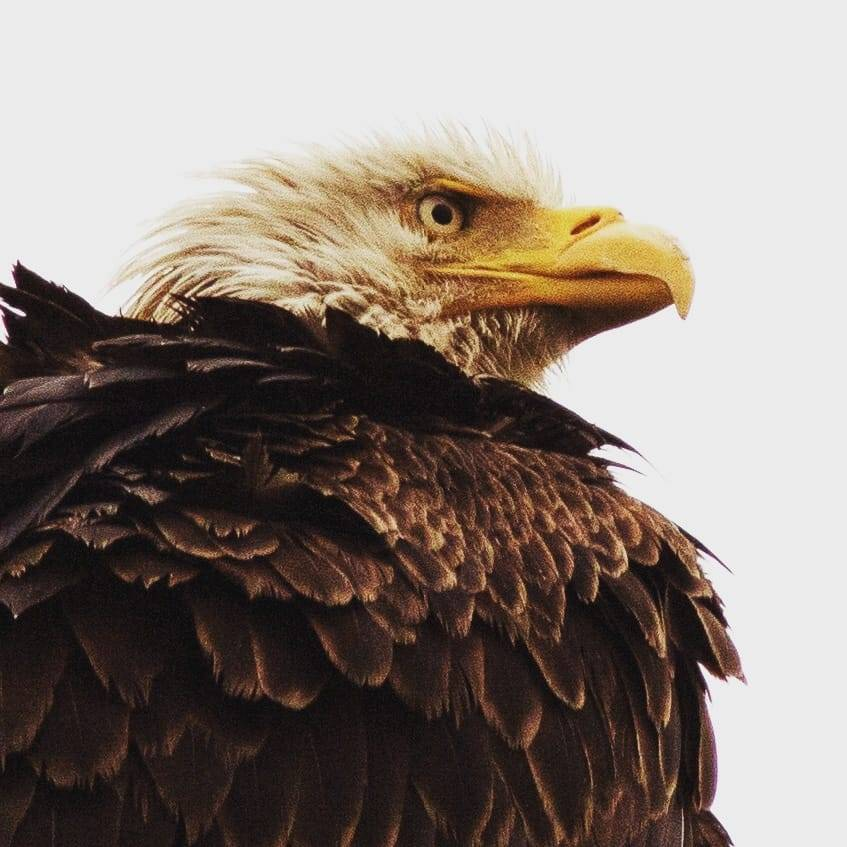 Close up a a Bald Eagle. Detailed brown feathers on back with Eagle looking to the right side. Background is light gray.