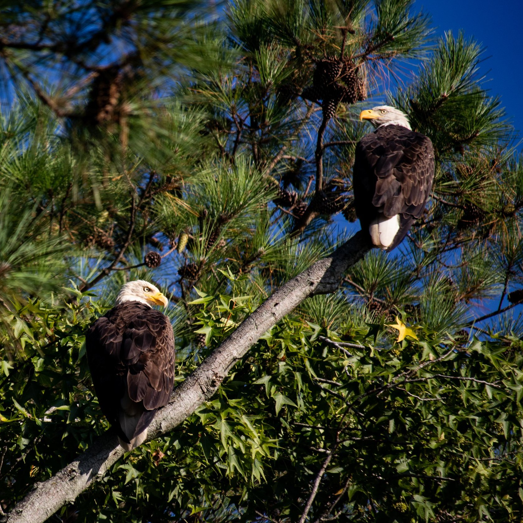 Two Bald Eagles sitting on a diagonally branch of a tree going up. One Bald Eagle is lower on the branch looking right. The other is higher up looking left. Background is green tree with a blue sky.